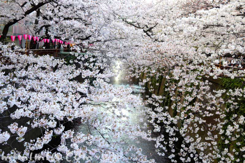 目黒川の桜(ソメイヨシノ) 花の写真 2019年