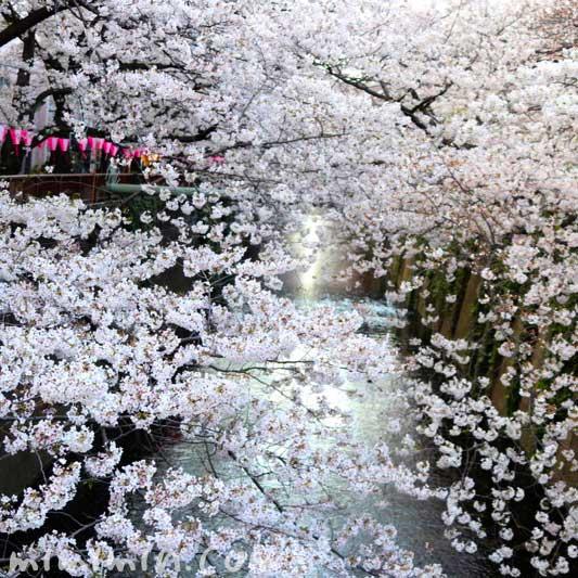 目黒川の桜の花のお花見 2019年