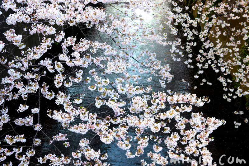 目黒川の桜(ソメイヨシノ) お花見の写真 2019年の画像