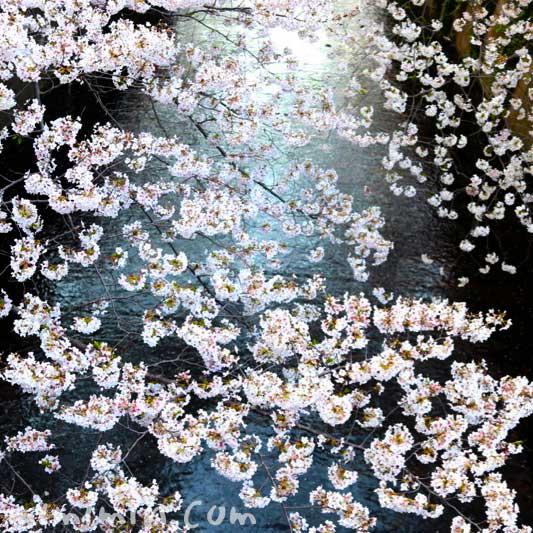 目黒川の桜の花の写真 お花見 2019年の画像