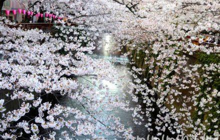 目黒川の桜(ソメイヨシノ)の お花見の写真 2019年