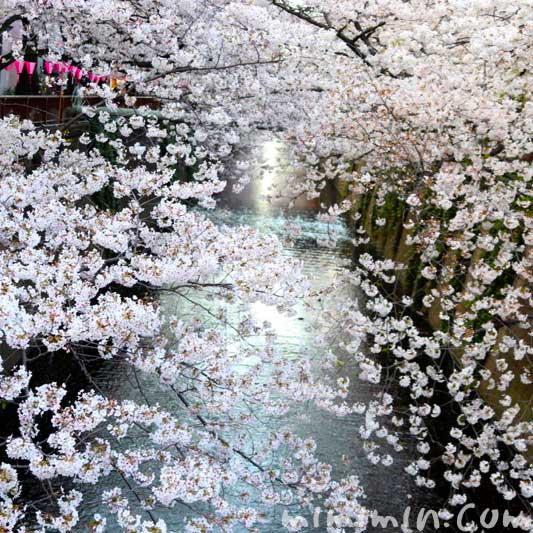 目黒川 桜の花の写真 お花見 2019年