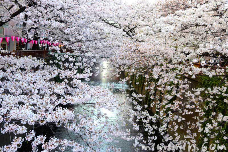 目黒川の桜 お花見の写真 2019年の画像