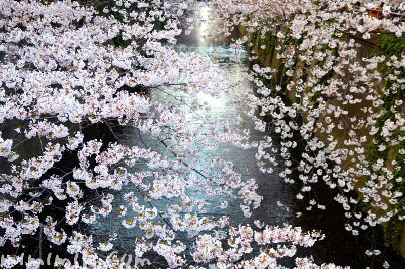 目黒川の桜のお花見の写真 2019年