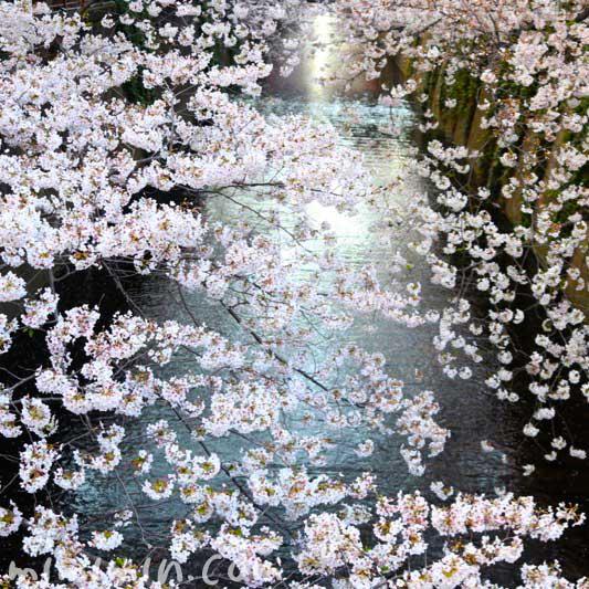 目黒川の桜の写真 お花見 2019年