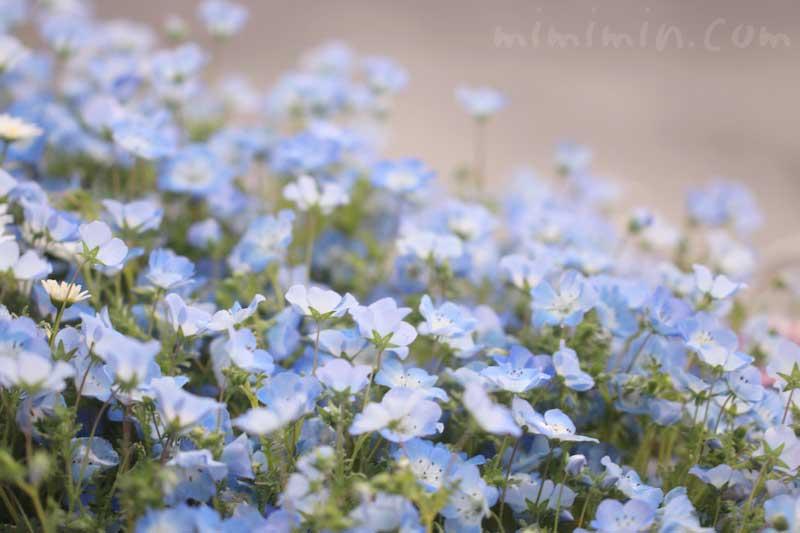 ネモフィラ 色別の花言葉の画像