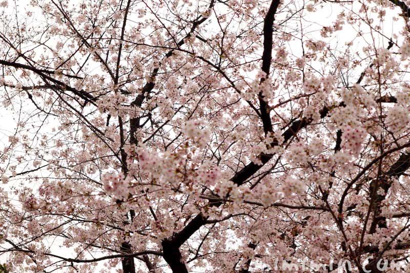 日枝神社の桜(赤坂)の画像