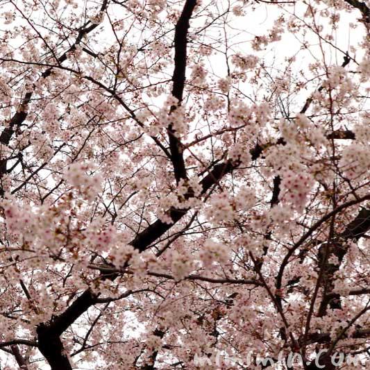 日枝神社のお花見(赤坂)の画像