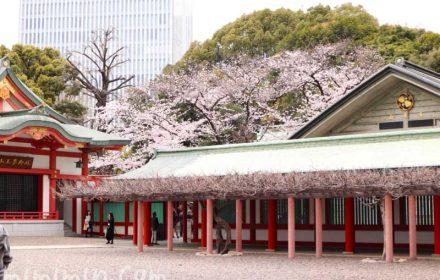 桜の花|日枝神社(ひえじんじゃ)の画像