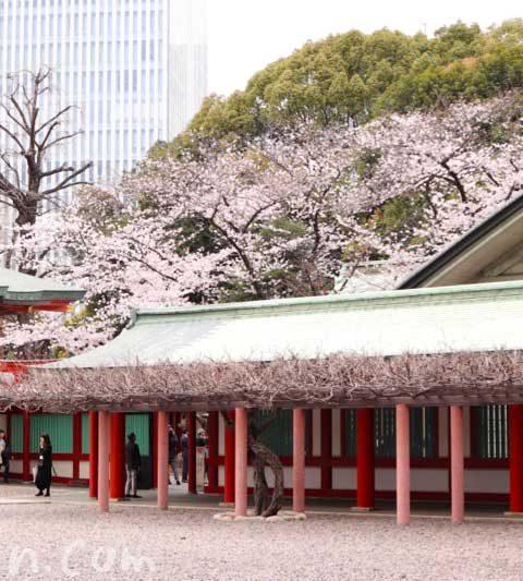 日枝神社と桜と「つきじ植むら 山王茶寮」|赤坂