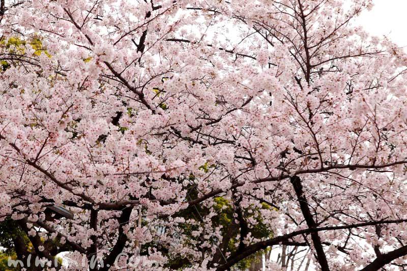 日枝神社と桜の画像