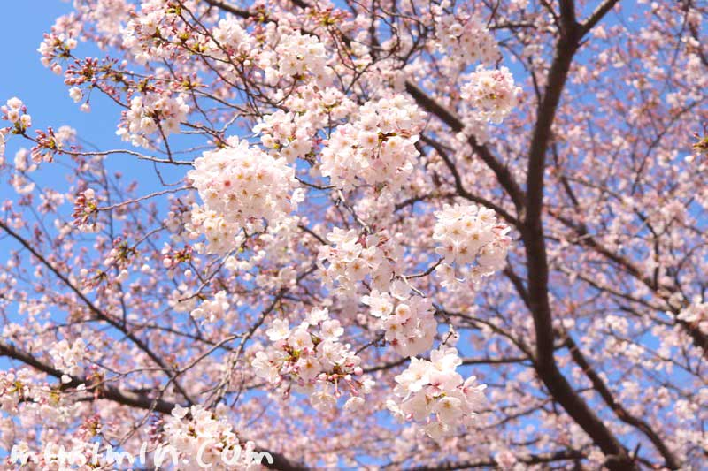 ソメイヨシノ|江川せせらぎ緑道の桜のが蔵
