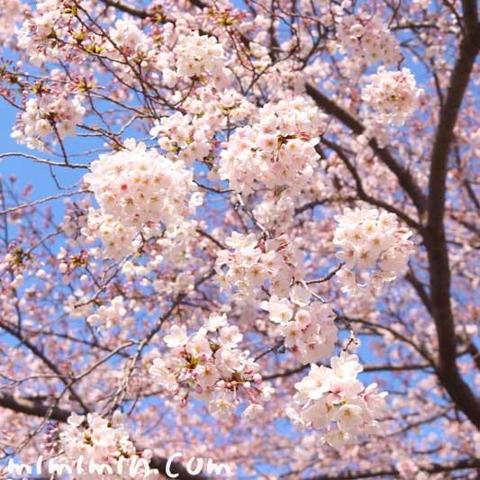 ソメイヨシノ|江川せせらぎ緑道(横浜) お花見