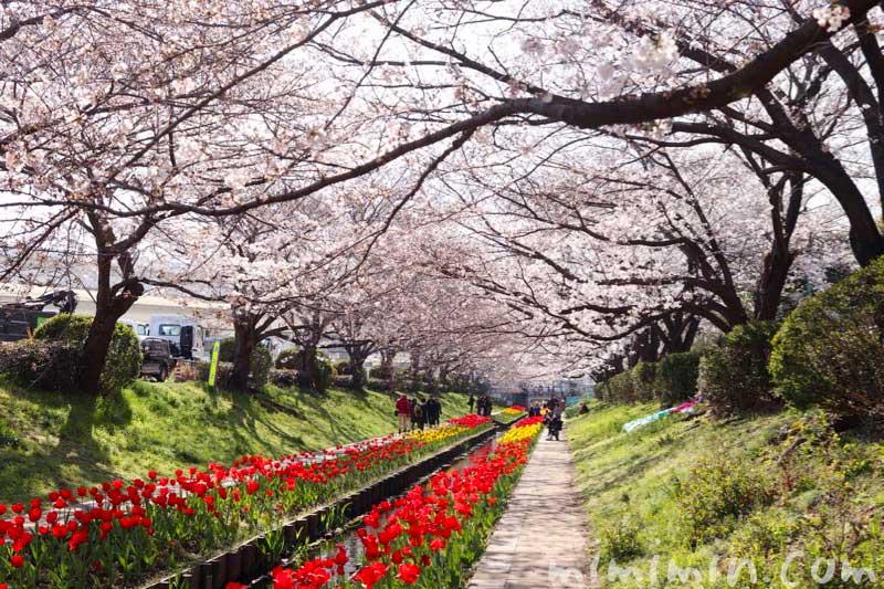 江川せせらぎ緑道 桜とチューリップ