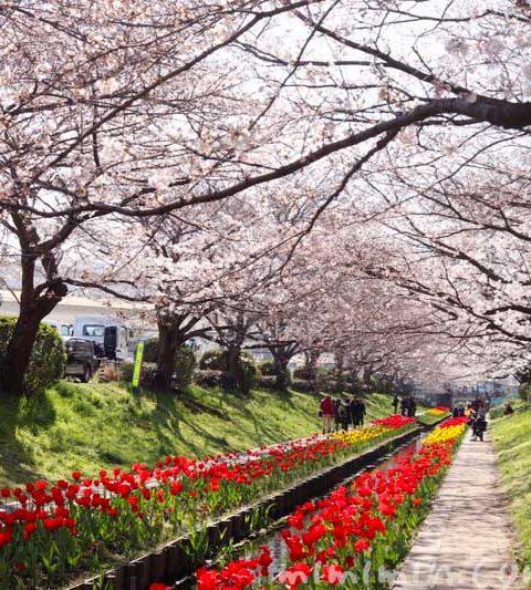 江川せせらぎ緑道のお花見|桜とチューリップ(横浜)