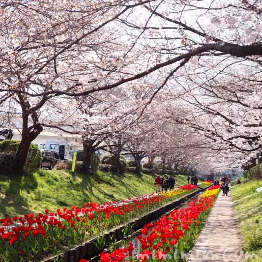 江川せせらぎ緑道  桜(ソメイヨシノ)とチューリップ