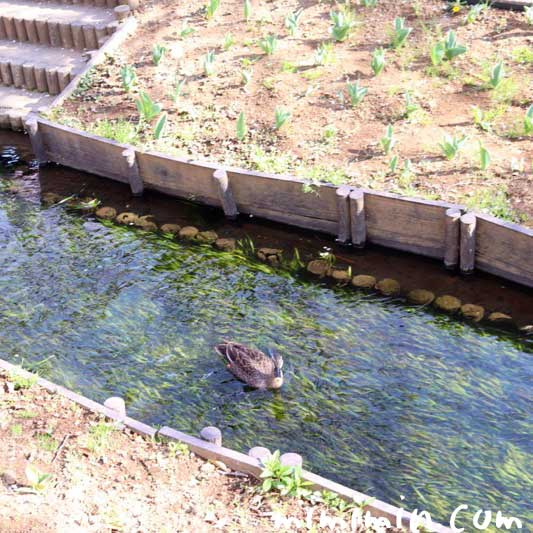 鴨| 江川せせらぎ緑道の画像