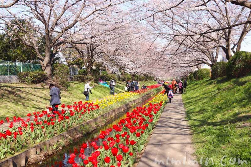 江川せせらぎ緑道のお花見の桜とチューリップ