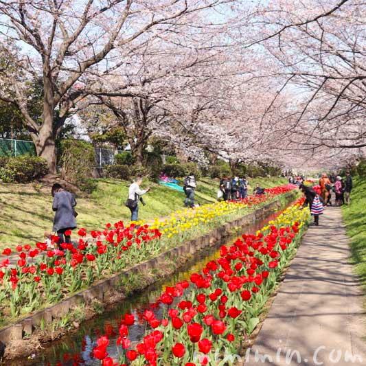 江川せせらぎ緑道の 桜(ソメイヨシノ)とチューリップのが蔵の写真