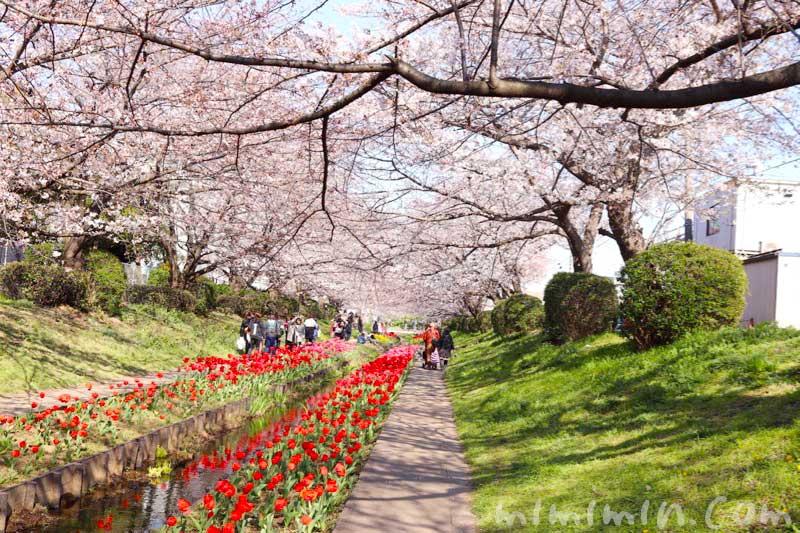 江川せせらぎ緑道のお花見|桜とチューリップのが蔵