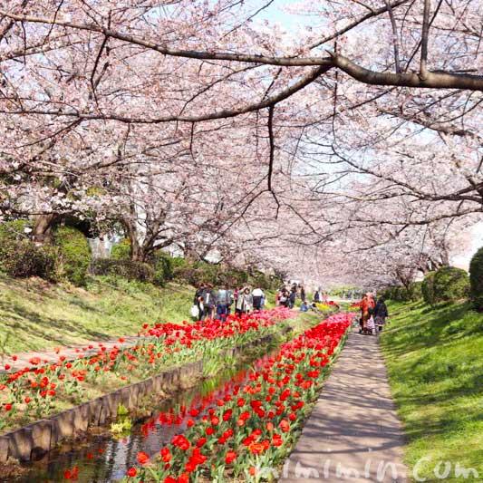 江川せせらぎ緑道の 桜のトンネルとチューリップ