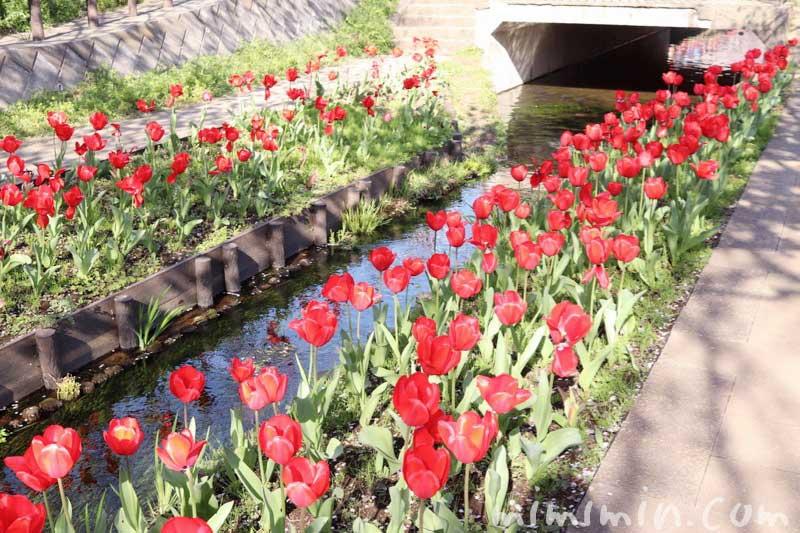 江川せせらぎ緑道のお花見|チューリップ(横浜)のが蔵