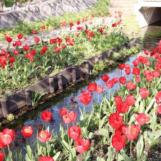 江川せせらぎ緑道 チューリップの花(横浜)