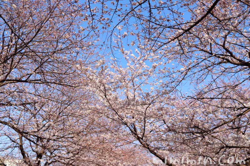 ソメイヨシノの花|江川せせらぎ緑道