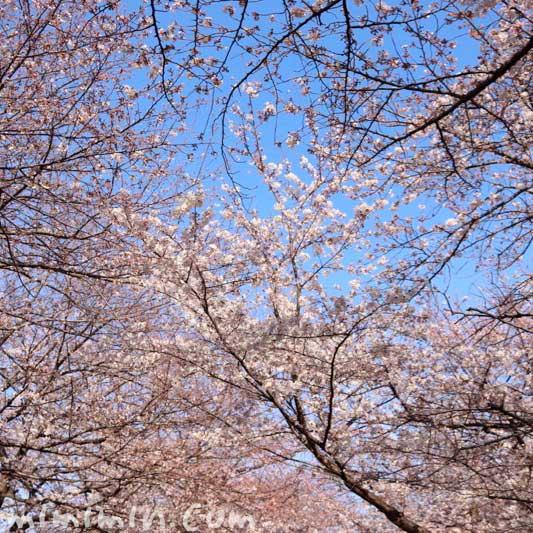 ソメイヨシノ|江川せせらぎ緑道(横浜)のお花見のが蔵