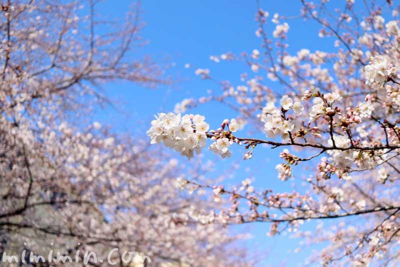 ソメイヨシノ|江川せせらぎ緑道 お花見