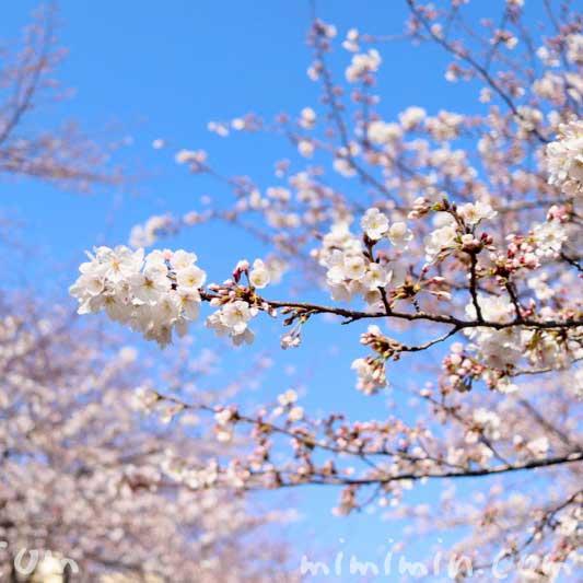 ソメイヨシノの花|江川せせらぎ緑道(横浜)