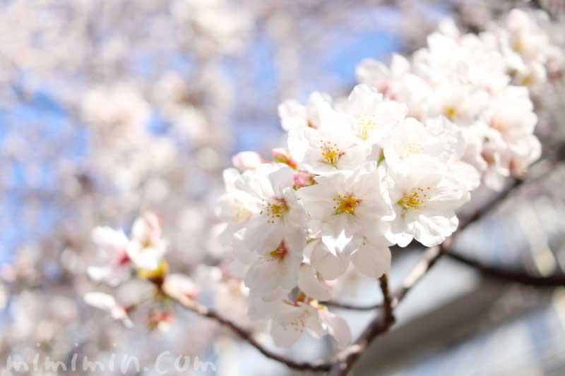 ソメイヨシノ|江川せせらぎ緑道のお花見の画像