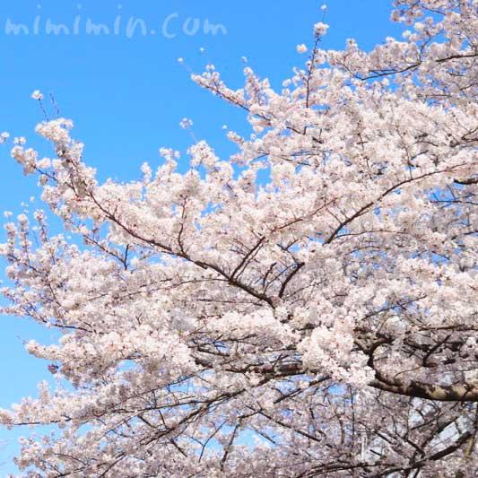 ソメイヨシノ|江川せせらぎ緑道の桜のお花見