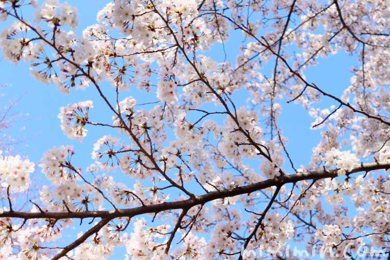 江川せせらぎ緑道のお花見|桜の画像