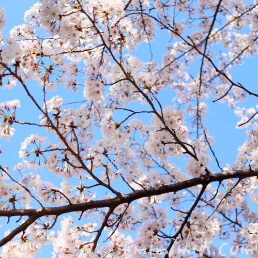 ソメイヨシノ|江川せせらぎ緑道 桜のお花見のが蔵