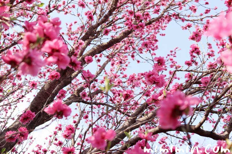浜離宮恩賜庭園のお花見|桃の画像