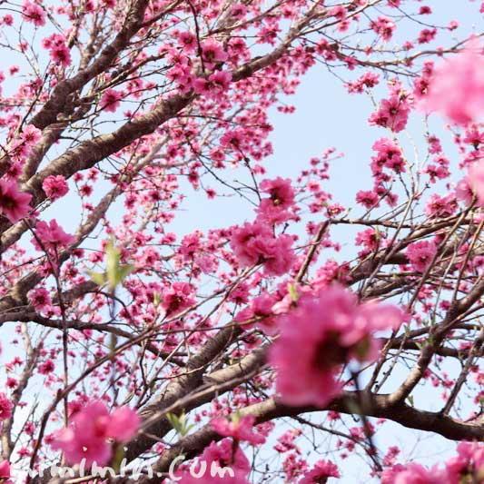 浜離宮恩賜庭園の桃の花の画像