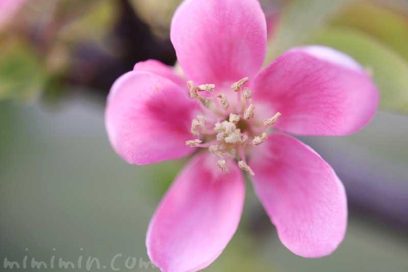 カリンの花の写真