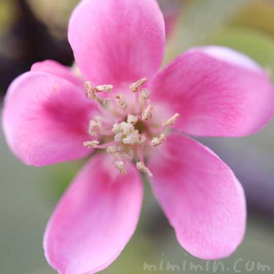 花梨の花の写真