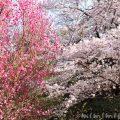浜離宮恩賜庭園の桜と桃の画像