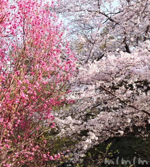浜離宮恩賜庭園のお花見|桜と桃と菜の花(汐留)
