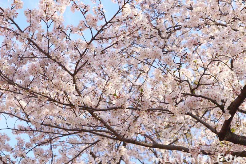 浜離宮恩賜庭園 お花見(ソメイヨシノ)の画像