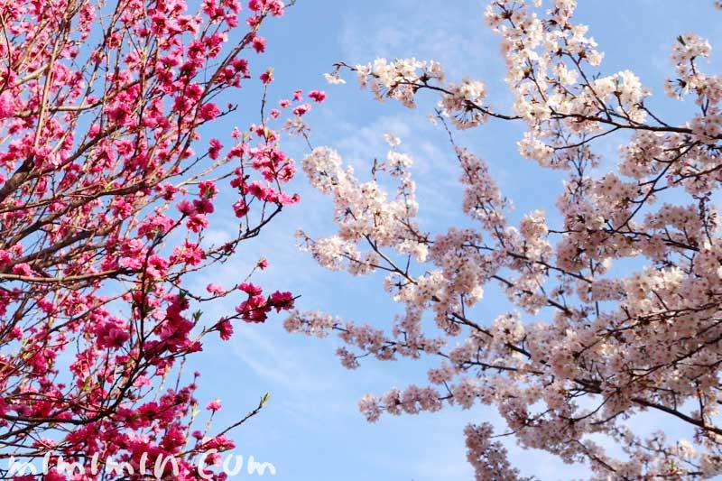浜離宮恩賜庭園のお花見 桜と桃