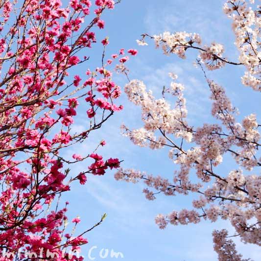 浜離宮恩賜庭園 桜と桃の花の画像