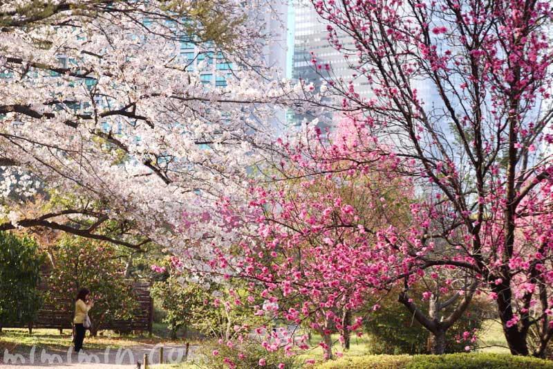 浜離宮恩賜庭園のお花見|桜と桃の画像