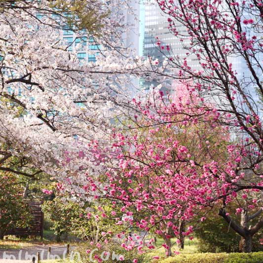 浜離宮恩賜庭園 桜と桃