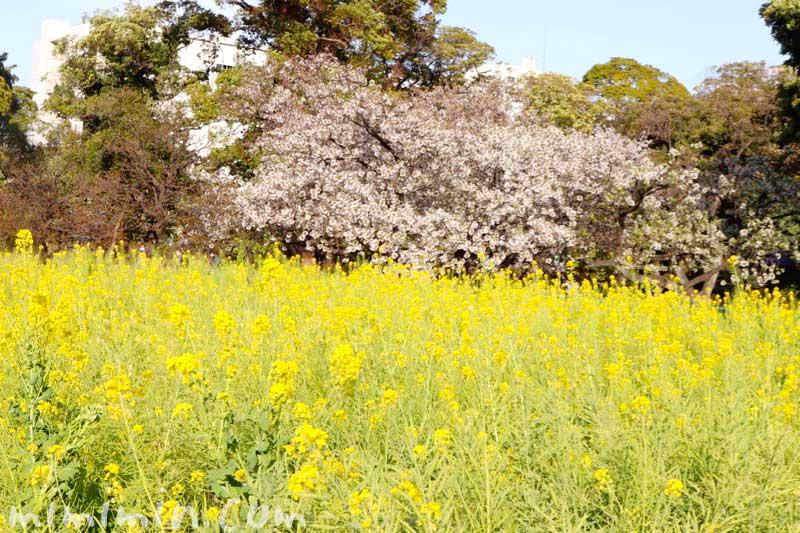 浜離宮恩賜庭園のお花見|桜と菜の花の画像