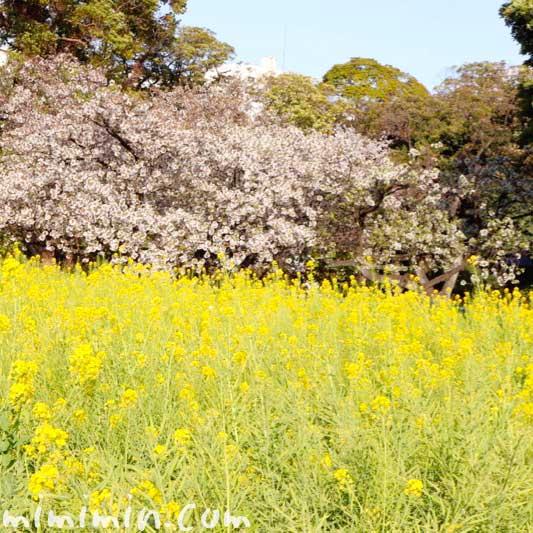 浜離宮恩賜庭園の桜と菜の花の写真