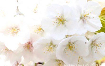 ソメイヨシノの写真と寿命と繁殖方法と桜の花言葉と誕生花