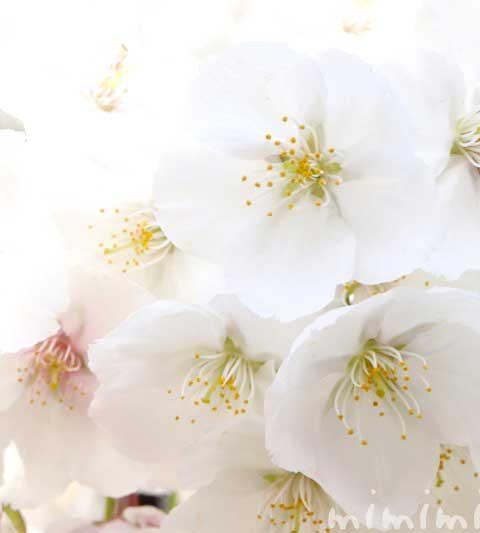 ソメイヨシノの寿命と繁殖方法・桜の花言葉と誕生花